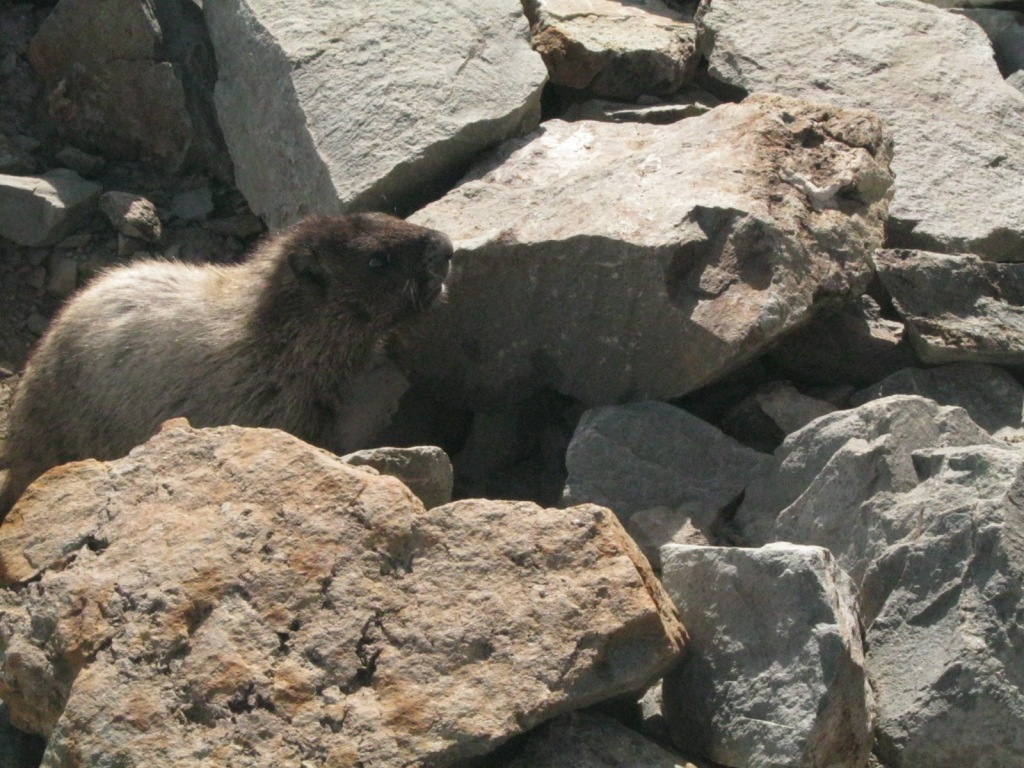 Marmot at the top of Whistler Mountain